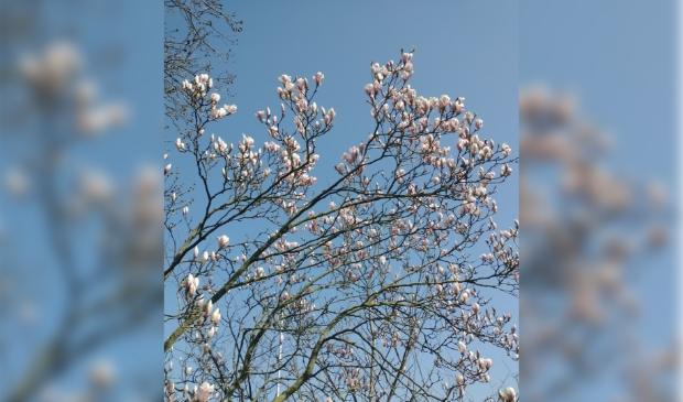 <p>Magnolia in bloei.</p>