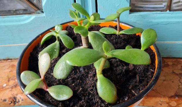<p>Deze Jadeplant is binnengebracht voor adoptie.</p>