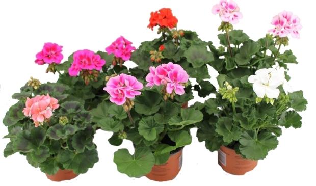 <p>Steun de vereniging en bestel geraniums bij HV Blokker. </p>