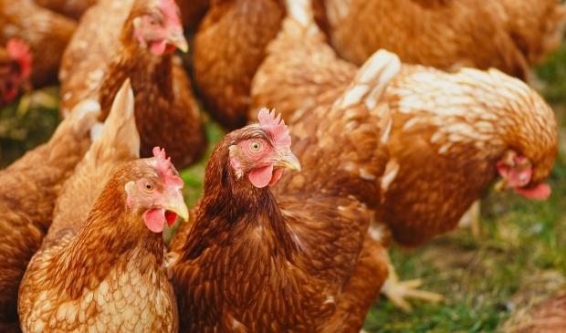 <p>27 kippen doodgebeten door vos in Broek in Waterland.</p>