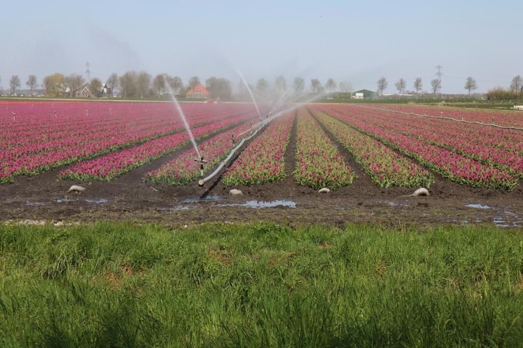 <p>Het tulpenveld werd beregend.</p> ((Foto: Corrie Bos)) © rodi