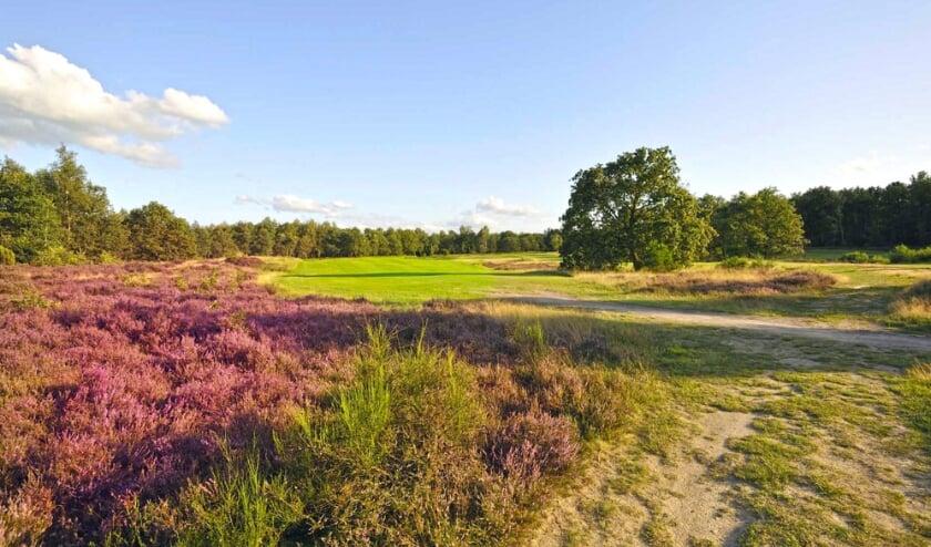 De fraaie golfbaan van De Gelpenberg kleurt in augustus paars door de heide. Een rondje is een absoluut genoegen.