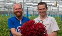 Duizenden alstroemerias bloeien in de Beemster
