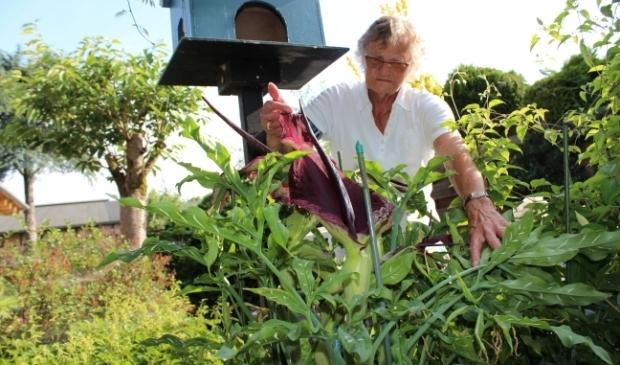 <p>Rina de Jong (87) bij haar aronskelk, die ruikt naar rottend vlees. ,,De buren hebben nog niet geklaagd.&quot;</p>