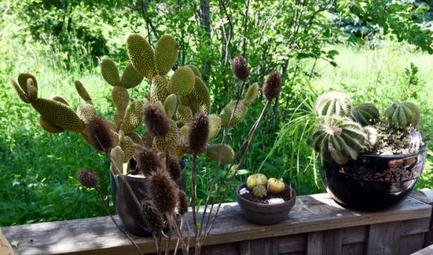 Cactussen blijken het ook goed te doen in Zaandam. (Foto: Dirk Karten) © rodi