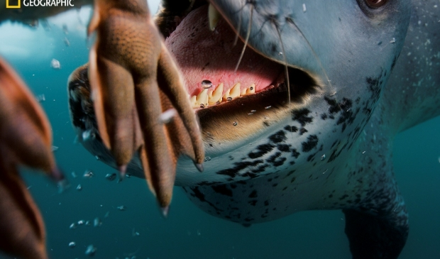 De programmering van het Fotofestival Schiedam omvat zowel grote gevestigde namen zoals de fotografen van National Geographic (zoals deze foto van de zeehond), tot jong aanstormend talent.