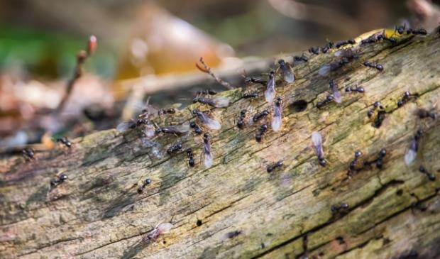 vliegende mieren