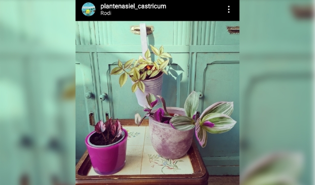 <p>Adopteer deze plant met een donatie via Instagram Plantenasiel Castricum.</p>