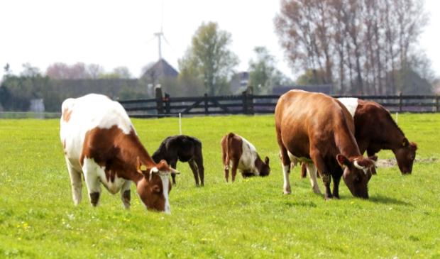 <p>In het Rundveemuseum worden tien bijna verloren koeienrassen gekoesterd en er wordt mee gefokt. </p>