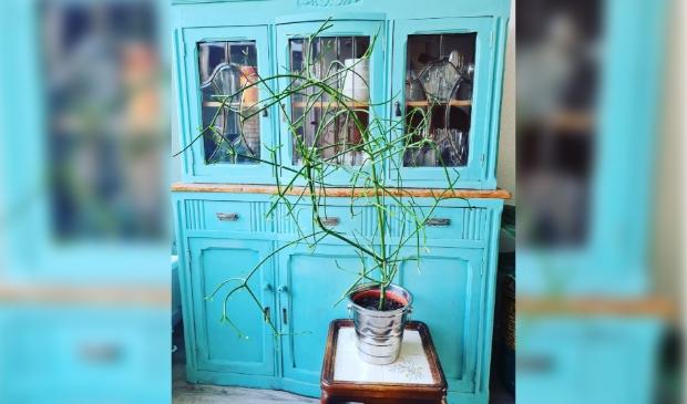 "<p class=""ONDERSCHRIFT"" pstyle=""ONDERSCHRIFT"">Een Euphorbia tirucalli.</p>"