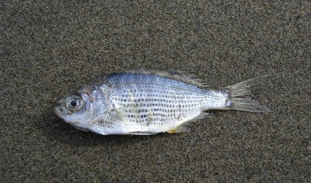 <p>Dode vissen in Edam.</p>