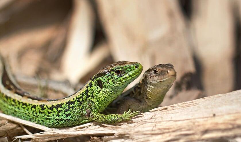 Zandhagedis (Lacerta agilis), Echte hagedissen (Lacertidae), Schubreptielen (Squamata, Sauria), Reptielen (Reptilia), fauna, hagedis, reptiel -