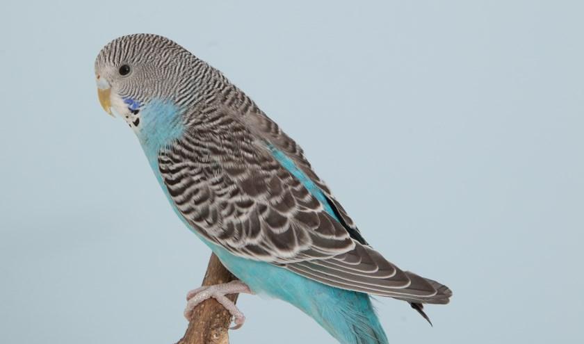 Op 22 en 23 november vindt de jaarlijkse tentoonstelling van Vogelvereniging Westland plaats.