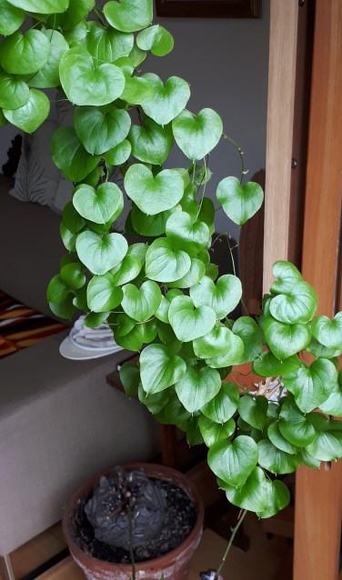 Schildpaddenschildplant of Olifantsvoet  - 'Het is de Dioscorea, soortnaam Yam.'  (Foto: Marias Velthuizen)