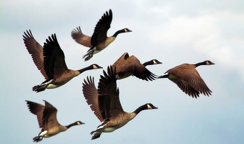Door te vliegen in V-formatie houden ze elkaar uit de wind, waardoor ze sneller hun doel bereiken.