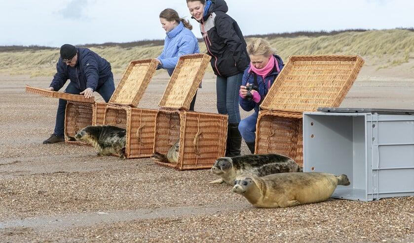 Het ging zo goed met Beer dat hij vorige week op het strand bij Ouddorp werd vrijgelaten. Fotograaf Wil van Balen mocht er bij zijn!