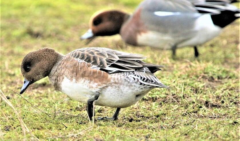 Onderzoek toont aan dat vogelvraat niet tot een lagere productie leidt omdat het aangevreten gras in het voorjaar een groeispurt doormaakt.