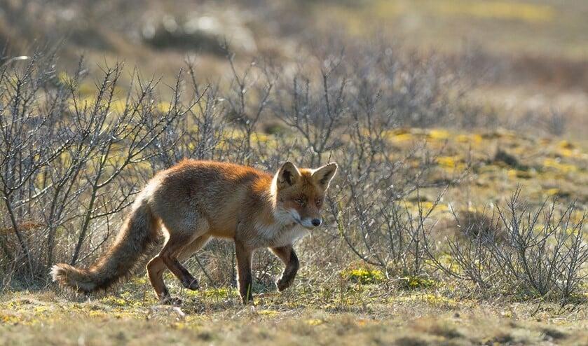 De vos heeft zich al gevestigd op Voorne-Putten en Goeree-Overflakkee (Foto: Jan Baks)