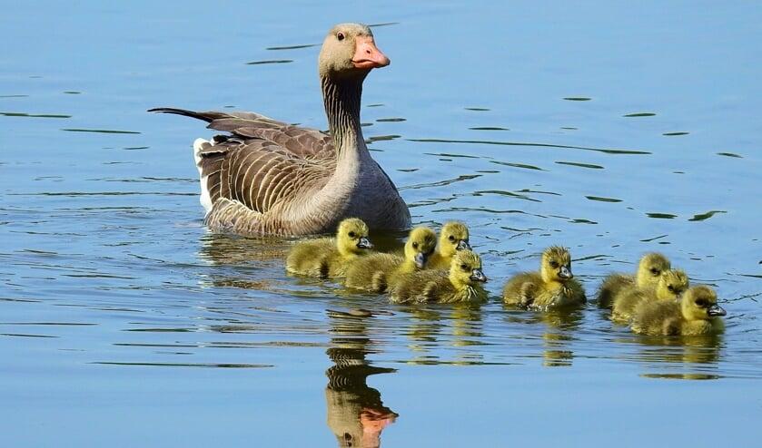 Moeder de gans houdt haar jonge ganzenkuikens nauwlettend in de gaten.