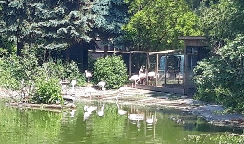 De flamingo's zijn één van de blikvangers in faunapark Flakkee.
