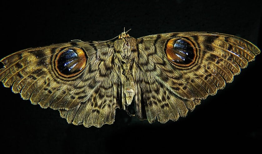 Argusvlinder (Lasiommata megera)