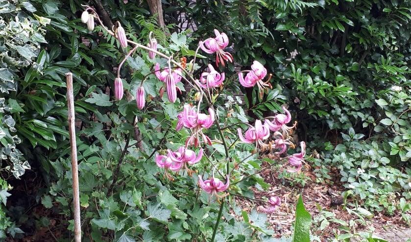 De kleur is lichtpurper met paarse vlekken. De bloembladeren zijn teruggeslagen. Ze vormen een tulband. Vandaar de naam Turkse lelie.