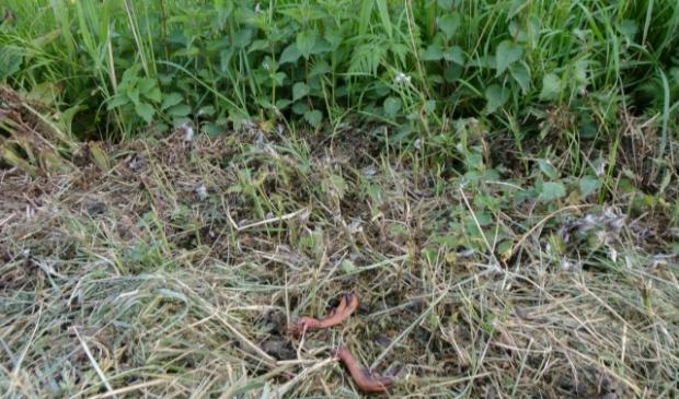 Van een dood geklepelde moeder eend resteren de pootjes   © GrootNissewaard.nl