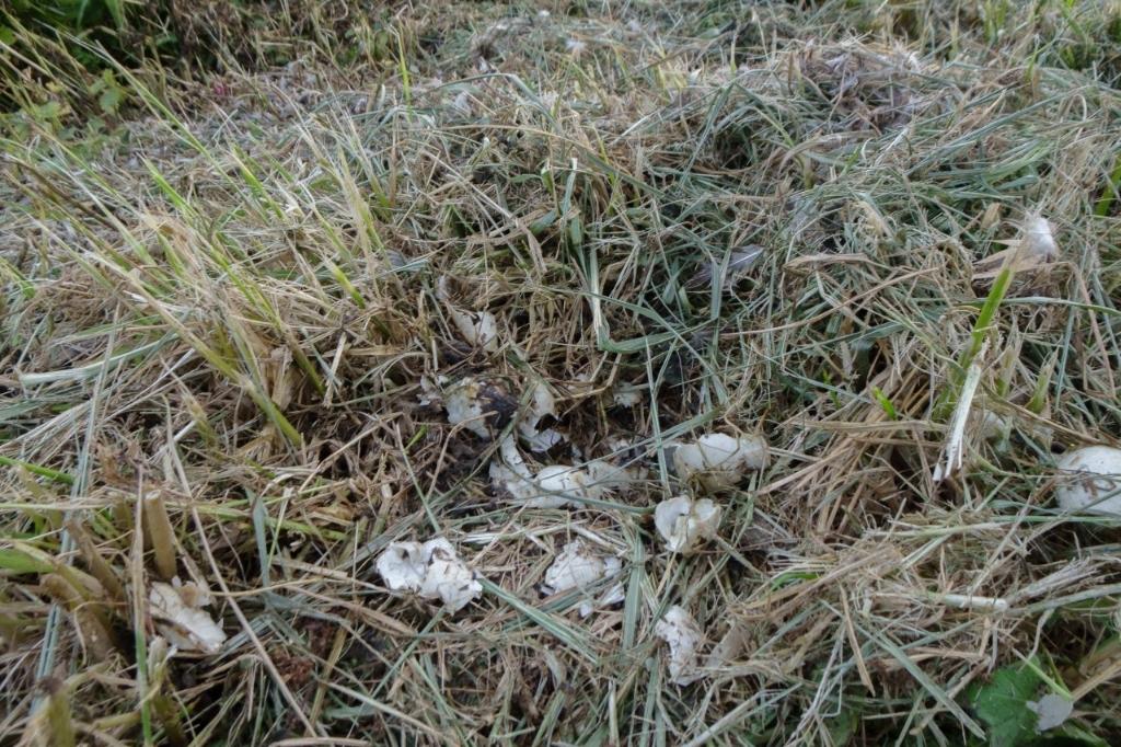 Eierschalen resteren van een vermalen eendennest   © GrootNissewaard.nl