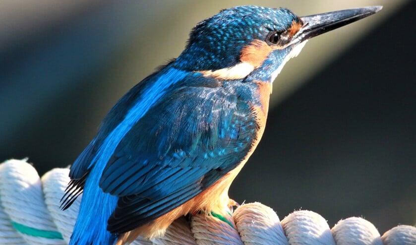 <p>Prachtige foto van de ijsvogel. Ook wel 'ijzervogel', die naam slaat op de metaalachtige glans van het blauwe verenkleed. (foto: Bart-Jan Baaijens)</p>