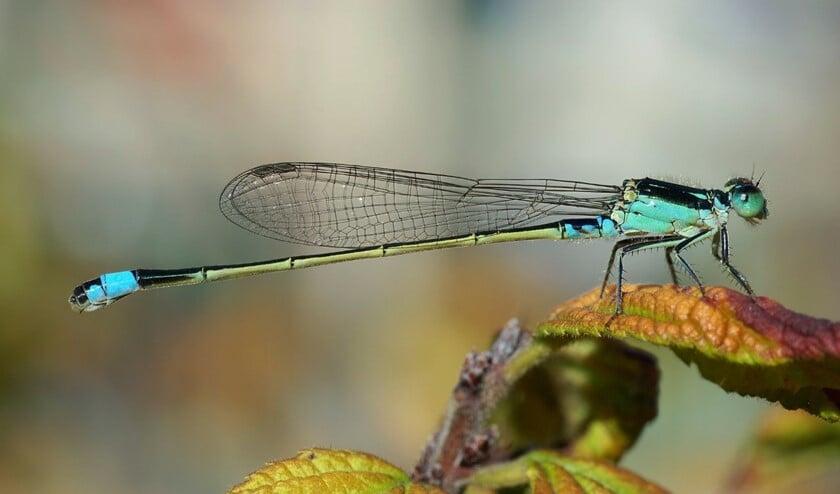 <p>In ons gebied zien we meer soorten kokerjuffers en libellen, en in grotere aantallen </p>