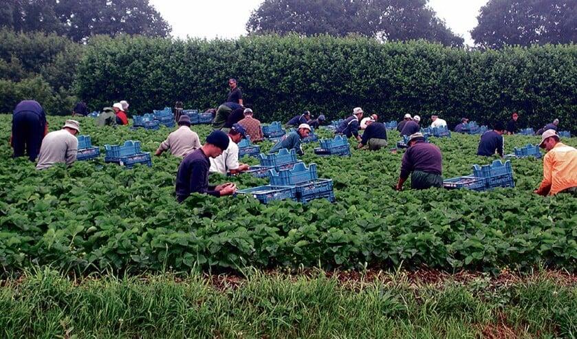 Arbeidsmigranten werken bijvoorbeeld in de Zeeuwse groente- en fruitsector.