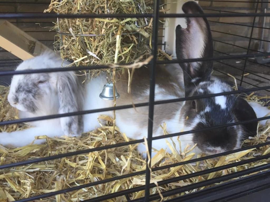 Onze liefste konijntjes fluffy en Luna, beide nog geen jaar oud, ze zijn dag en nacht samen en zijn echt de beste maatjes  Foto: Mandy de Wachter-Bos © Internetbode
