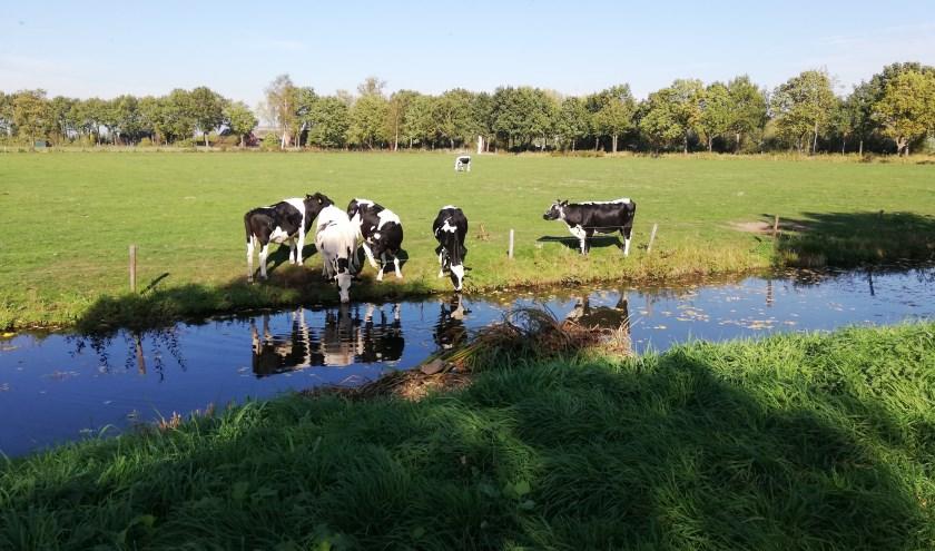 Ook de koeien hebben dorst met het huidige hete weer.