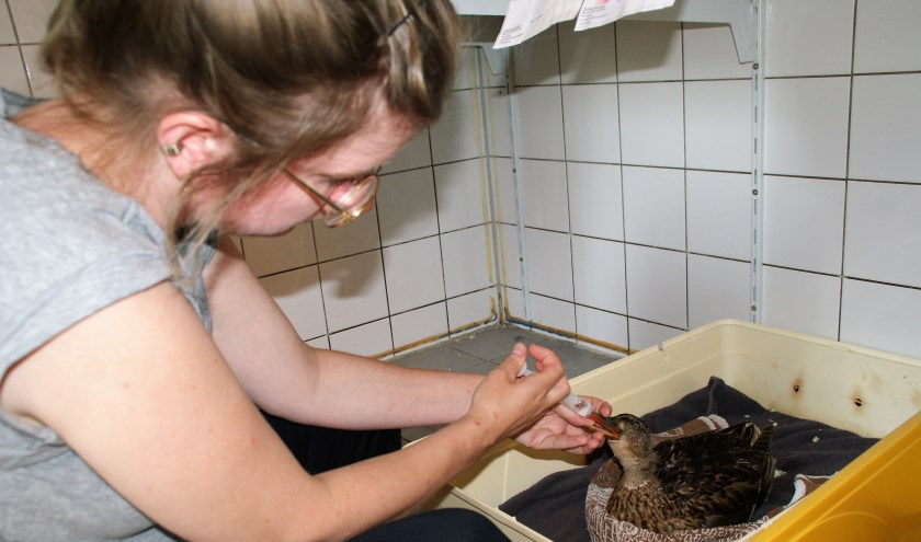 Medewerker Tessel de Jong dient één van de eenden in de Wildopvang Delft e.o. iets toe om aan te sterken.