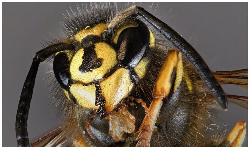 Wespen kunnen een plaag zijn.