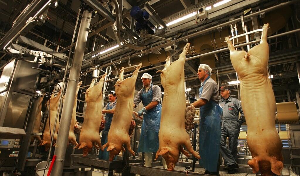 Griseglade asiater betyder nu 375 nye job hos Danish Crown, der skal bruge flere folk til at slagte og pakke grisekød til et voksende asiatisk marked. (Arkivfoto)  (Henning Bagger/Ritzau Scanpix)