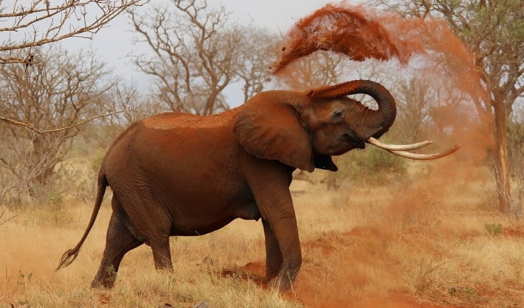 Nej, det er IKKE lyden af en elefant, du hører i lydklippet. Men hvad er det så?  ( Pixabay)