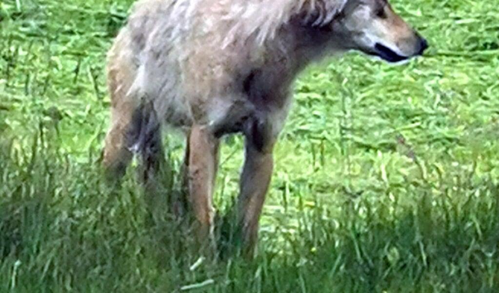 <p>Netop i dagene omkring den 13. juli, da et f&aring;r blev angrebet af en ulv i Lydersholm, blev denne unge pluskede ulv fotograferet p&aring; en nysl&aring;et gr&aelig;smark ved Store Jyndevad. Afstanden mellem Lydersholm og Store Jyndevad er cirka 10 kilometer.&nbsp;</p>  ( Simon Muusmann Lykou, JydskeVestkysten)