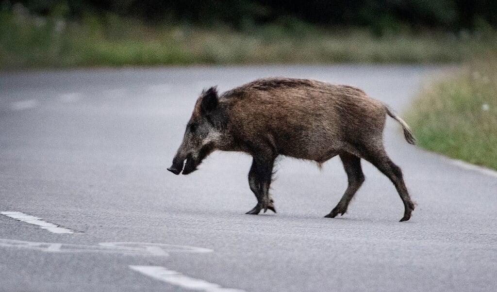 <p>I Polen og det &oslash;stlige Tyskland er der store bestande af vildsvin.</p>  ( Paul Zinken/dpa )