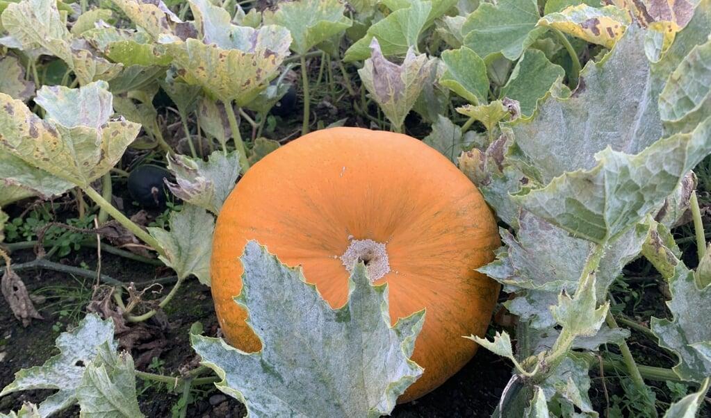 <p>Efter&aring;ret er fyldt med farver, og p&aring; jorden ligger orange gr&aelig;skar klar til at blive h&oslash;stet. Dette foto er taget i den ny&aring;bnede Kongelige K&oslash;kkenhave i Gr&aring;sten overfor Gr&aring;sten Slot. Den har v&aelig;ret et till&oslash;bsstykke. Haven lukkede den 30. september for i &aring;r, men &aring;bner igen til for&aring;ret. Der er gratis entre. K&oslash;retid fra gr&aelig;nsen er 20 minutter.</p>  ( Kirsten Elley)
