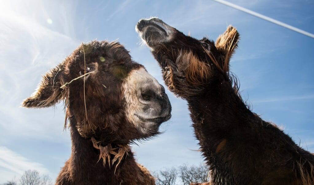 Gehören zu den beliebtesten Tieren in der Arche Warder - die Poitou-Esel. Sie sind nicht, wie so häufig angenommen die größten Esel der Welt, dafür aber die Schwersten.    (Tim Riediger)