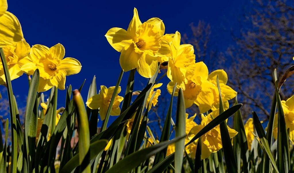 I Hof Hilligenbohls have kan man gå på opdagelse i ca. 120 forskellige slags påskeliljer.    ( Lars Salomonsen)