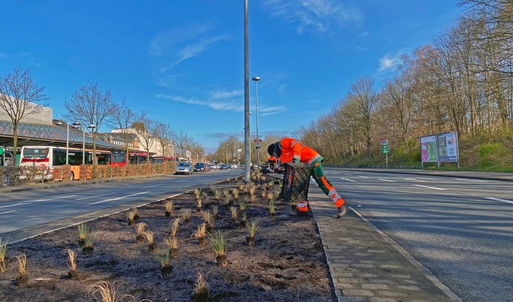 Anfang der Woche haben die Mitarbeiter des Technischen Betriebszentrums auf dem Mittelstreifen der Süderhofenden Stauden gepflanzt.  ( TBZ)