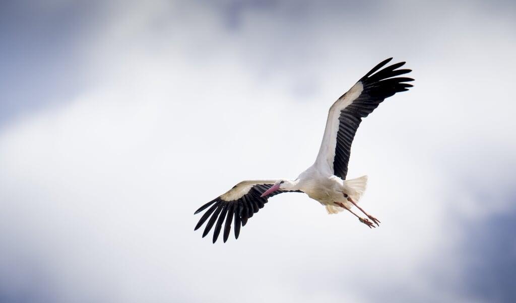 Tre ud af fem storkeæg er klækket, og de første storkeunger er kommet til verden i en storkerede i Smedager i Sønderjylland. (Arkivfoto)  (Mads Claus Rasmussen/Ritzau Scanpix)