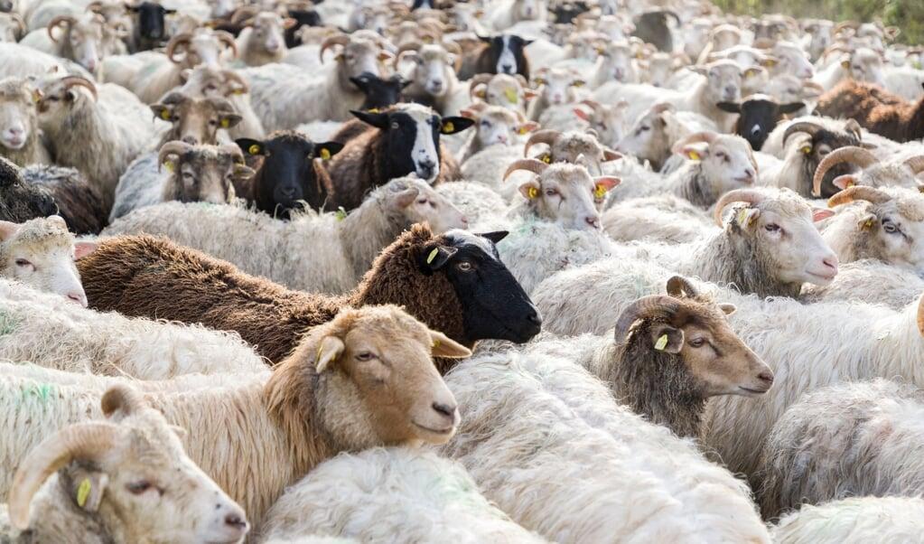 Omkring 600 får og geder skal være med til at vedligeholde det økologisk værdifulde naturbeskyttelsesområde. Arkivfoto:  (Lars Salomonsen)
