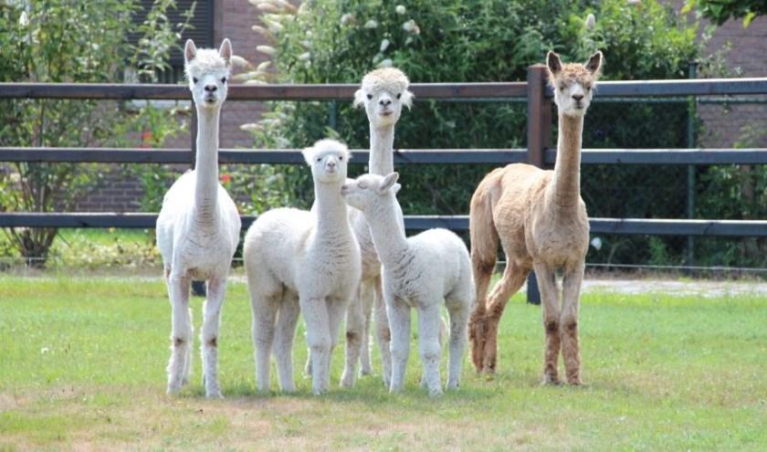 Alpaca's hebben een zacht karakter, worden graag geaaid en zijn vriendelijk in de omgang.