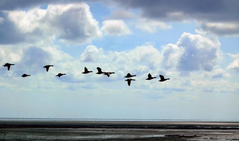 De Vogelwerkgroep van Natuurbeschermingsvereniging 't Duumpje gaat zaterdag 11 januari weer op pad voor de jaarlijkse slaapplaatstelling van ganzen.