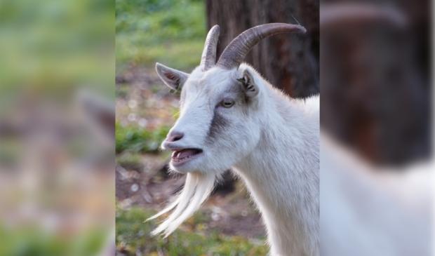 Een blije geit verheugt zich op de bezoekers.