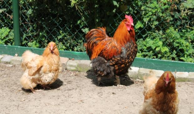 De haan houdt de kippen gezelschap