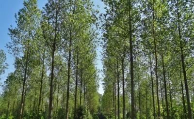 <p>Het Meierijse cultuurlandschap staat onder druk nu steeds meer populierenbossen verdwijnen. Plantacties moeten de teruggang van de populier stoppen. (Archieffoto Brabants Centrum).</p>